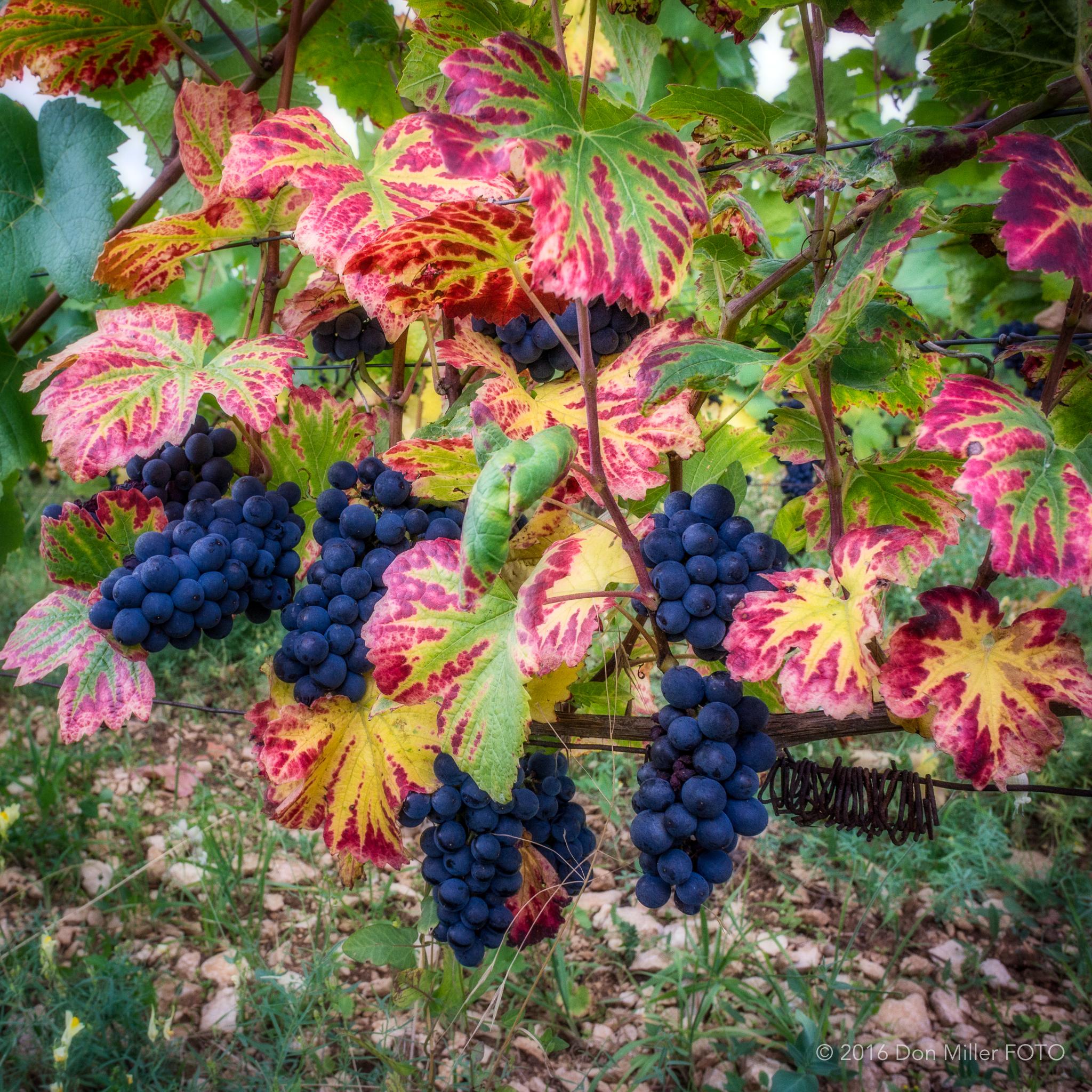 Pinot Grapes