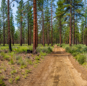 Pine Forest Panorama.jpg
