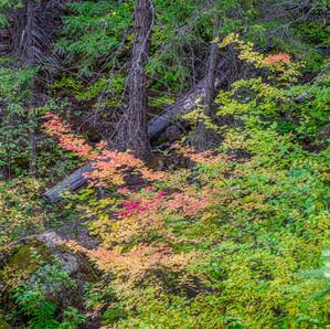 Fall Color along the Metolius River Trai