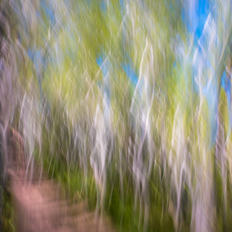 Aspens along hiking trail