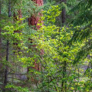 Woodland Scene Along the Metolius.jpg