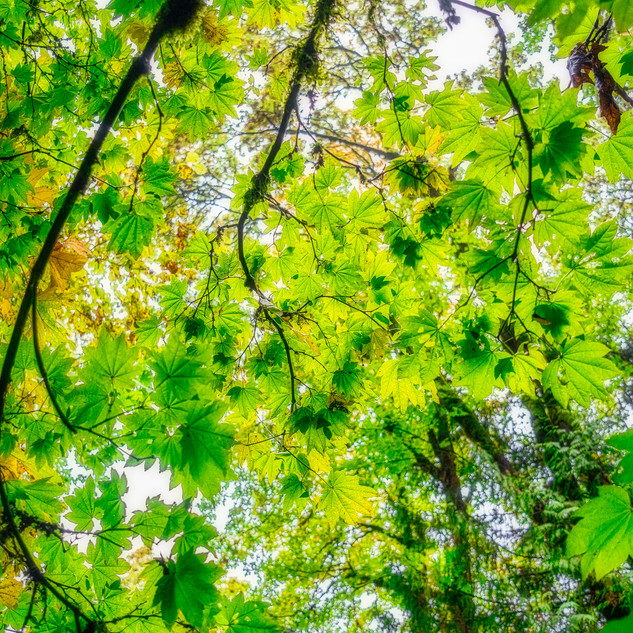 Foilage Canopy