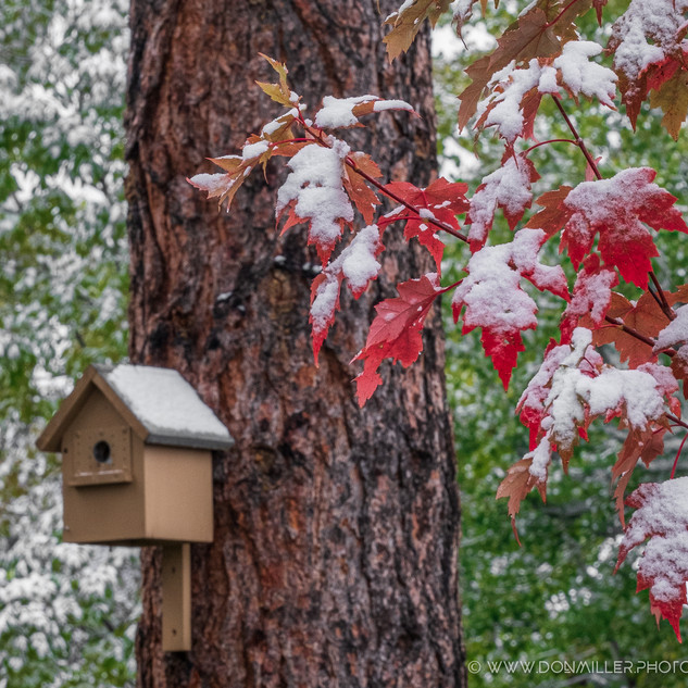 Early snow on Maples.jpg