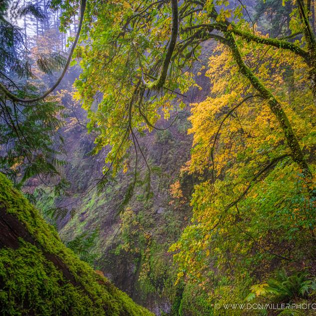 Multnoma Forest