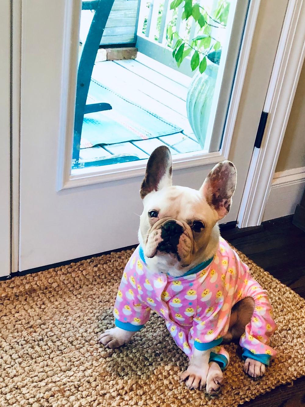 French bulldog in Easter pajamas