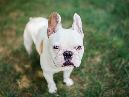Piglet Peabody: Teddydog