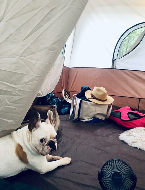French bulldog Piglet Peabody in camping tent