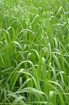 Panicum Coloratum CV Klein Verde, semillas, pasturas, alfalfa, sorgos híbridos, grama rhodes, brachiaria, subtropiales, gramíneas, leguminosas, rye grass