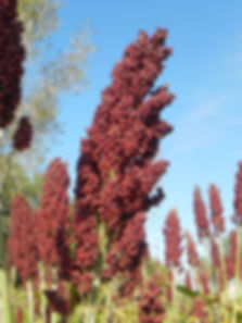 Semillas, Nueva Alfalfa Galia, Sorgo, Grama Rhodes