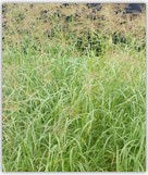 Grama Rhodes CV Callide, semillas, pasturas, alfalfa, sorgos híbridos, grama rhodes, brachiaria, subtropiales, gramíneas, leguminosas, rye grass
