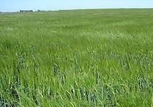 Cebada Forrajera Mariana Inta, semillas, pasturas, alfalfa, sorgos híbridos, grama rhodes, brachiaria, subtropiales, gramíneas, leguminosas, rye grass