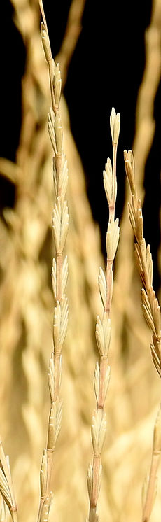 Agropyro Alargado, semillas, pasturas, alfalfa, sorgos híbridos, grama rhodes, brachiaria, subtropiales, gramíneas, leguminosas, rye grass