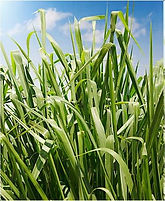 Panicum Maximum CV Gaton Panic, semillas, pasturas, alfalfa, sorgos híbridos, grama rhodes, brachiaria, subtropiales, gramíneas, leguminosas, rye grass