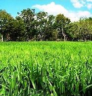 Rye Grass Estanzuela, semillas, pasturas, alfalfa, sorgos híbridos, grama rhodes, brachiaria, subtropiales, gramíneas, leguminosas, rye grass