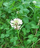 Trebol Blanco Haifa, semillas, pasturas, alfalfa, sorgos híbridos, grama rhodes, brachiaria, subtropiales, gramíneas, leguminosas, rye grass