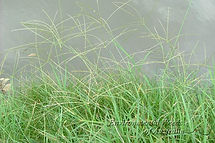 Digitaria Eriantha, semillas, pasturas, alfalfa, sorgos híbridos, grama rhodes, brachiaria, subtropiales, gramíneas, leguminosas, rye grass