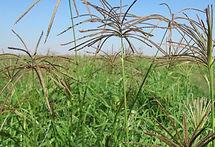 Grama Rhodes CV Katambora, semillas, pasturas, alfalfa, sorgos híbridos, grama rhodes, brachiaria, subtropiales, gramíneas, leguminosas, rye grass