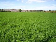 alfalfa.jpg