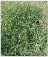 grama rhodes cv pioneer, semillas, pasturas, alfalfa, sorgos híbridos, grama rhodes, brachiaria, subtropiales, gramíneas, leguminosas, rye grass