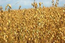 Avena Bonaerense Calen Inta, semillas, pasturas, alfalfa, sorgos híbridos, grama rhodes, brachiaria, subtropiales, gramíneas, leguminosas, rye grass
