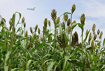 semillas, pasturas, alfalfa, sorgos silero puma, grama rhodes, brachiaria, subtropiales, gramíneas, leguminosas, rye grass