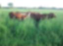 Dicanto Erecto, semillas, pasturas, alfalfa, sorgos híbridos, grama rhodes, brachiaria, subtropiales, gramíneas, leguminosas, rye grass