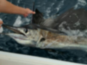 1120 sailfish.jpg