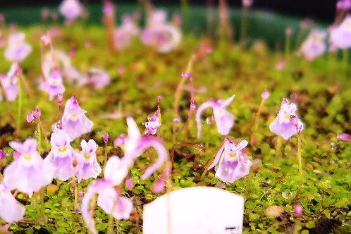 Utricularia .sandersonii