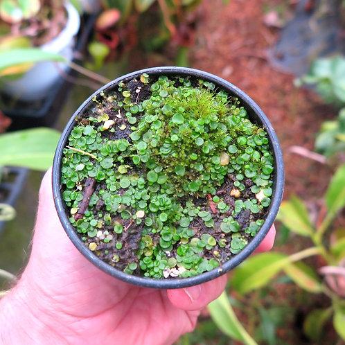 Utricularia .pubescens