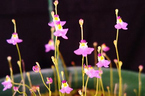 Utricularia .warburgii