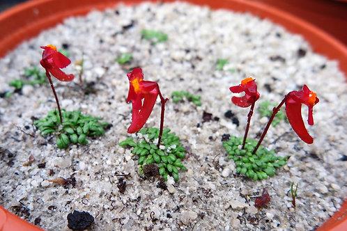 Utricularia .menziesii