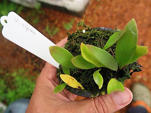 Utricularia .alpina