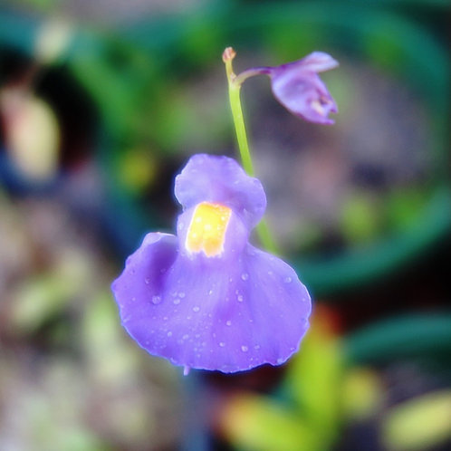 U.longifolia var forgettiana