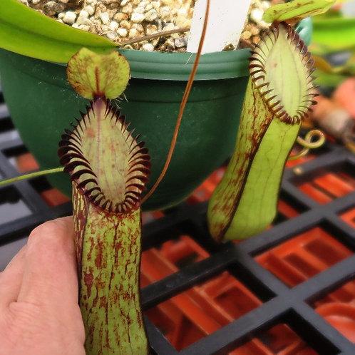 Nepenthes .hamata