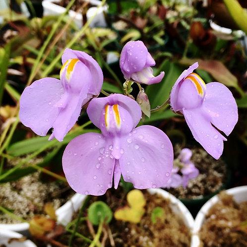 Utricularia .cornigera