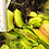Thumbnail: TWO Venus Flytraps -  Akai Ryu + Green Giant(V38)