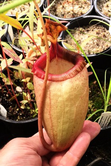Nepenthes .mira