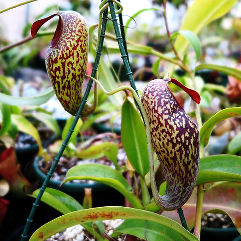 Nepenthes .aristolochioides