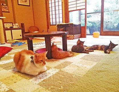和猫かふぇ 客室 趣のある和室で猫と遊んだりのんびり寛いだり出来ます。