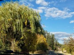 willoe tree
