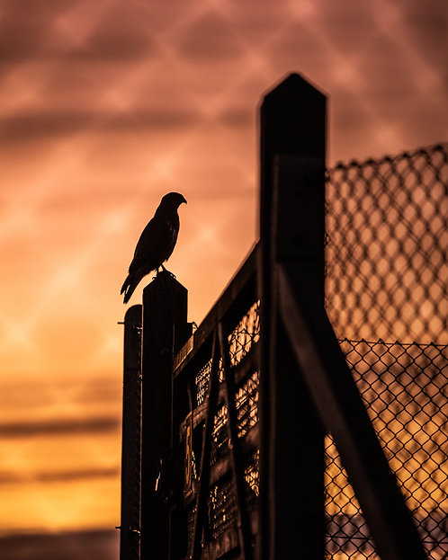 Sunset Buzzard