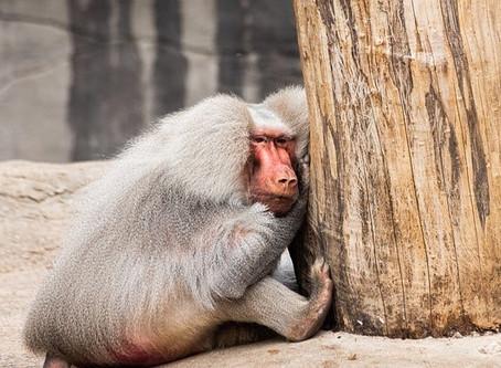 マントヒヒってどんな猿?性格や特徴を紹介!