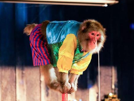 栃木県・日光市、日光さる軍団。劇場での猿まわしとは