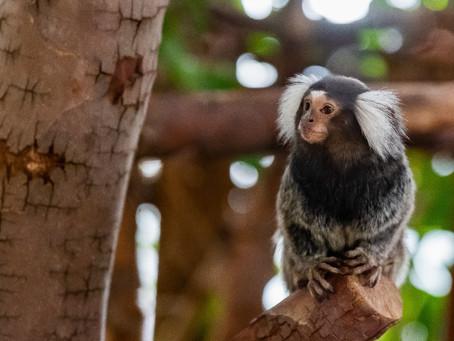 耳のフサフサが可愛いペットとしても人気のコモンマーモセット生態や特徴・飼い方について紹介!