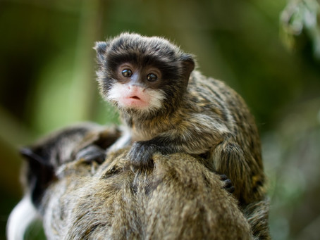 皇帝のような立派なお髭が特徴のお猿さんエンペラータマリンの特徴や生態を解説!