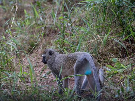 サバンナに住むベルベットモンキーってどんな猿?生態や習性について解説!