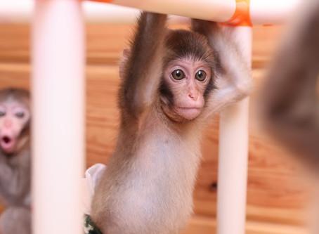 おさるの可愛い赤ちゃん動画大集合!日光さる軍団が配信するとびきり可愛い子猿動画10選