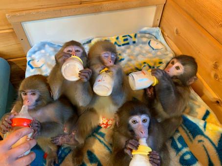 日光さる軍団の猿の赤ちゃんはどこからくるの?~赤ちゃんから日光さる軍団の一員になるまで~