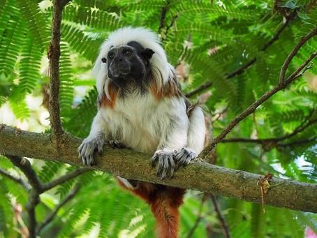 フサフサ綿帽子が特徴のおしゃれなお猿ワタボウシタマリンの生態や特徴について解説