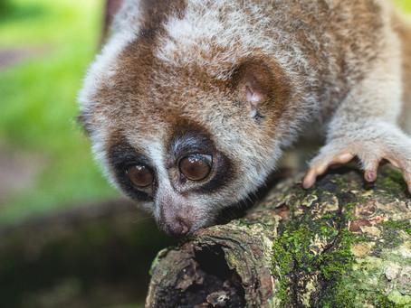 可愛い顔して毒を持つ怖い猿?スローロリスのペット化や生態について解説!